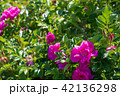 ハマナス 花 晴れの写真 42136298