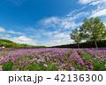 チャイブ 花 ファーム富田の写真 42136300