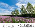 チャイブ 花 ファーム富田の写真 42136301