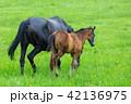 仔馬 親子 馬の写真 42136975