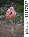 フラミンゴ 動物 鳥の写真 42137687