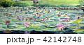 蓮の花 スイレン 水彩画 42142748