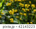 Flowering of yellow wildflowers 42143223