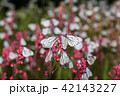 Butterflies with white wings and flower 42143227