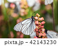 Butterflies with white wings and flower 42143230