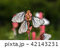 Butterflies with white wings and flower 42143231