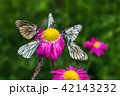 Butterflies with white wings and flower 42143232