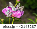 Butterflies with white wings and a peony 42143287