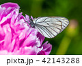 Butterfly with white wings and a peony 42143288