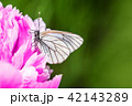Butterfly with white wings and a peony 42143289