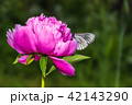 Butterfly with white wings and a peony 42143290