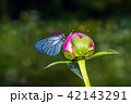 Butterfly with blue wings and a peony 42143291