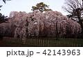 3月 旧近衛邸の枝垂桜 -京都御苑の桜- 42143963
