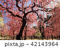 3月 しだれ梅の結城神社 42143964