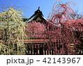 3月 しだれ梅の結城神社 42143967