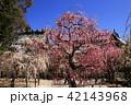 3月 しだれ梅の結城神社 42143968