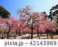 3月 しだれ梅の結城神社 42143969
