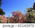 3月 しだれ梅の結城神社 42143970