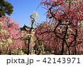 3月 しだれ梅の結城神社 42143971