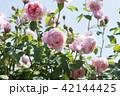 花 バラ 薔薇の写真 42144425