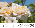 花 バラ 薔薇の写真 42144429
