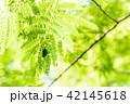 ネムノキとコガネムシ 42145618