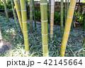 竹 竹林 竹藪の写真 42145664