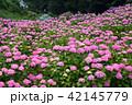 紫陽花 あじさいの里 花の写真 42145779