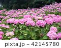 紫陽花 あじさいの里 花の写真 42145780