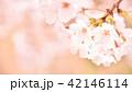 桜 春 花の写真 42146114