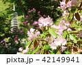 奈良 シャクナゲ咲く岡寺 42149941