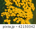 Tansy or tanacetum vulgare close-up 42150342
