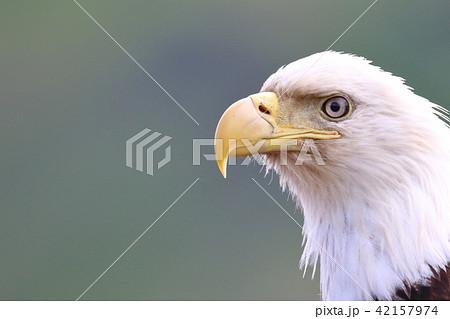 野生の白頭鷲(ハクトウワシ・アメリカンイーグル・Bald eagle) 42157974
