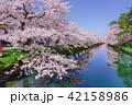 弘前公園 桜 花の写真 42158986