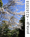 桜 春 花の写真 42163858