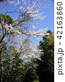 桜 春 花の写真 42163860