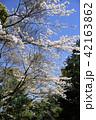 桜 春 花の写真 42163862