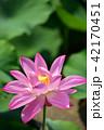 蓮 ピンク 花の写真 42170451
