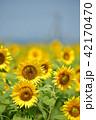 ひまわり畑 花 向日葵の写真 42170470