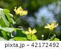 ゴーヤ ゴーヤの花 花の写真 42172492