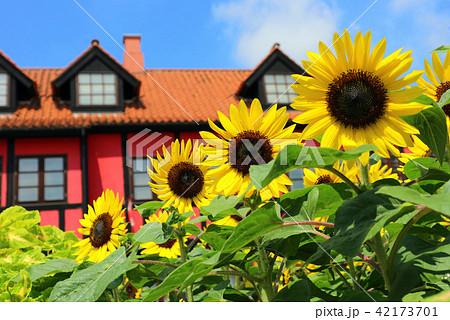 ふなばしアンデルセン公園のひまわりの花、メルヘンの丘ゾーン(7月)千葉県船橋市 42173701