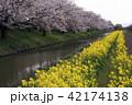 4月 桜咲く近江八幡水郷めぐり 42174138