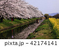 4月 桜咲く近江八幡水郷めぐり 42174141