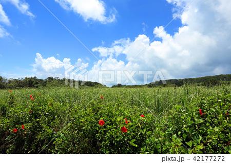 沖縄 伊良部島の風景 さとうきび畑とハイビスカス 42177272