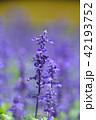 ブルーサルビア ファリナセア サルビア・ファリナセアの写真 42193752