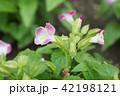 トレニア. 園芸 草花 42198121