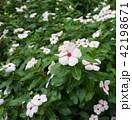 ニチニチソウ 園芸 草花 42198671