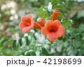 ノーゼンカズラ 園芸 草花 42198699