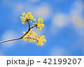 サンシュユ 花 ハルコガネバナの写真 42199207