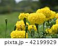 マリーゴールド キク科 植物の写真 42199929